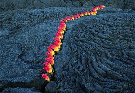 """Nils-Udo, Untitled, crack in lava,""""laternes"""" flowers, 96 x 124 cm, La Réunion, 1998"""